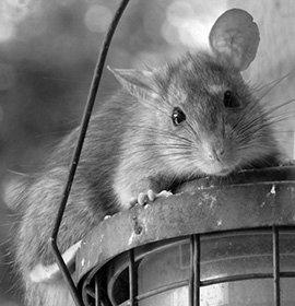Usługi zwalczania szczurów realizowane są na terenie Białegostoku, Łomży, Ełku, Grajewa czy Suwałk oraz w innych miastach                                 w północno- wschodniej Polsce !